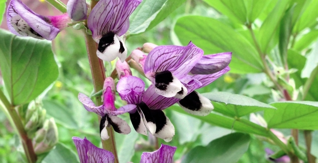 Vicia-Faba-Flower
